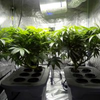 Indoor-Cannabis-Plants