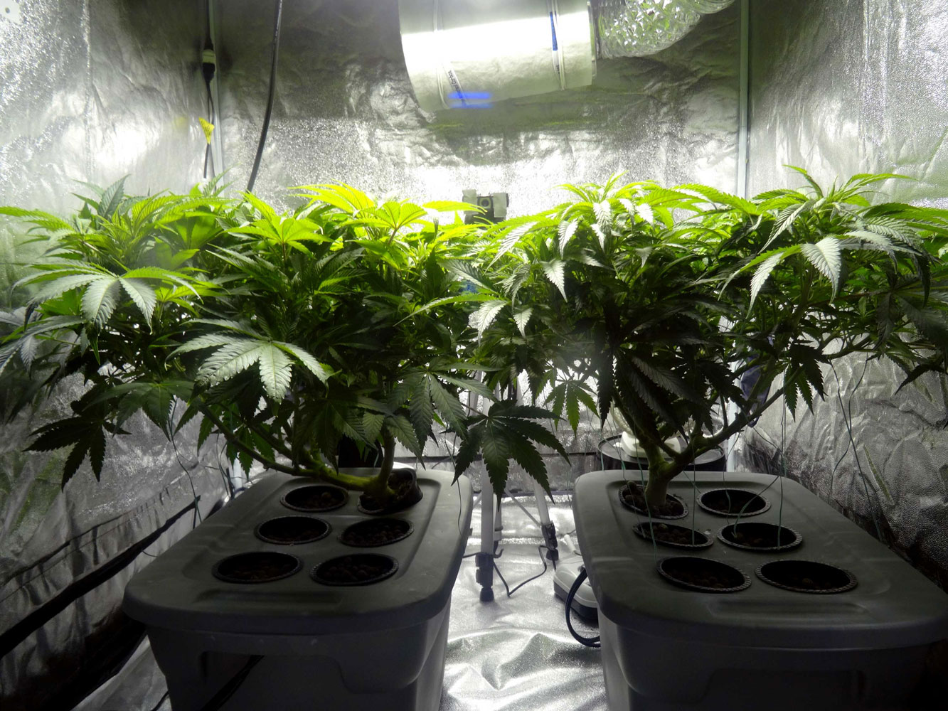 Indoor-Cannabis-Plants