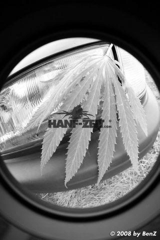 Hanfzeit Cannabis Blatt vor Autoscheinwerfer