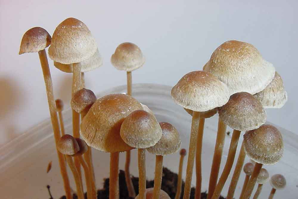 zauberpilze mushrooms