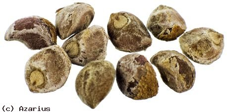 Are the effects of Hawaiian Baby Woodrose seeds similar to those of LSD?